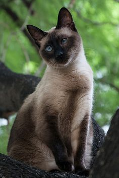 Ten Great Cat Breeds for Kids Pretty Cats, Beautiful Cats, Animals Beautiful, Cute Animals, Wild Animals, Siamese Kittens, Cats And Kittens, Kittens Cutest, Ragdoll Cats