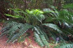 Encephalartos Villosus        Growing in clusters in Kirstenbosch         S A no 14,20