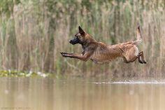 by Andy Berger Malinois, Belgian Malinois Dog, Belgian Shepherd, German Shepherd Dogs, I Like Dogs, Cute Dogs, Malinois Shepherd, Guard Dog Breeds, Belgium Malinois