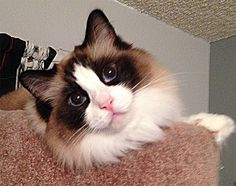 Destiny - My Seal bicolor Ragdoll Cat - looking glamorous on top of her cat tree