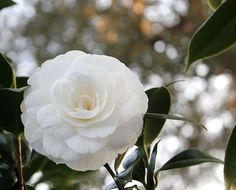 perfect white gardenia