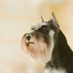 not that I'm allergic, but Schnauzers are hypoallergenic