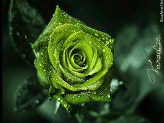 A wild Irish Rose....