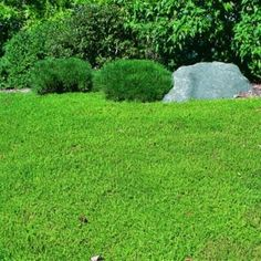 Herniaria Glabra Green Carpet Ground Cover Seeds – Rupturewort alternative to grass, Green Carpet (Herniaria Glabra). drought tolerant, rarely flowers, sun or shade, handles foot traffic Ground Cover Seeds, Ground Cover Plants, Full Sun Ground Cover, Ground Cover Flowers, Drought Tolerant Landscape, Ground Cover Drought Tolerant, Drought Resistant Grass, Shade Flowers, Green Carpet