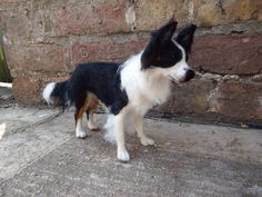 A Needle felted Border Collie I created called Shebang. #chicktincreations