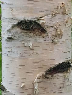 Oeil sur l'écorce d'un tronc de bouleau, Betula, Jardins de Valloires, Argoules (80)Les bouleaux nous ont à l'oeil ! #arbre #écorce http://www.pariscotejardin.fr/2017/04/les-bouleaux-nous-ont-a-l-oeil/