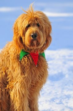 golden doodle. cutest dog in the world. best pet ever created. i DARE you to disagree with that face...