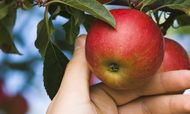 Center for Food Safety: All antibiotic use has been banned for organic apples and pears!  Victory!