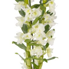 Learn how to take care of your Dendrobium orchids with the correct lighting, correct amount of water, how to repot when needed and much more.