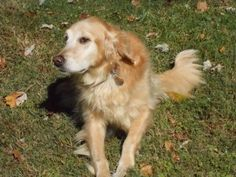 This is Sadie - 10 yrs. She is spayed, current on vaccinations, potty trained, rides well in a car, good with dogs and kids. She will counter-surf given the opportunity. Needs leash work. GRREAT, VA. - http://www.grreat.org/dogs/sadie-14-080/