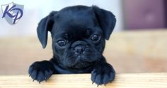 Keystone Puppies has a puppy finder feature setting you up to find and buy a dog perfect for your home. Pug Puppies For Sale, Puppy Finder, Buy A Dog, Cute Baby Animals, French Bulldog, Cute Babies, Female, Dogs, Stuff To Buy
