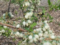 A bumble bee in blueberry blooms in Liberty Ridge Farm's blueberry bushes.