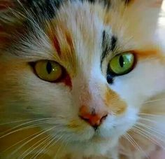 Cat  Great Calico markings