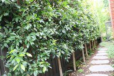 Ficus Hillii A unique garden in Camberwell Unique Gardens, Beautiful Gardens, Ficus, Perennials, Restoration, Landscape, Outdoor Ideas, World, Perennial