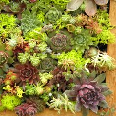 Succulent Living Wall Box KIT  11 by 22 by sosucculent on Etsy...i love succulents!!