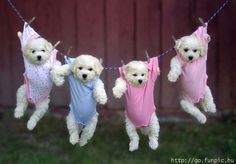 Maltese pups ... hanging out!