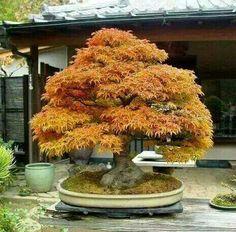 Arce shishigashira en otoño...