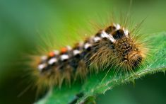 Poisonous caterpillars which can cause asthma attacks have spread inland for first time, warns a Butterfly Conservation charity expert. Poisonous Caterpillars, Sandy West, Welsh Words, Itchy Rash, Beautiful Butterflies, Butterfly, Butterflies