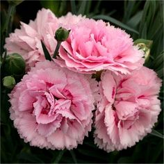 Dianthus 'Candy Floss'-like the pinking shear look