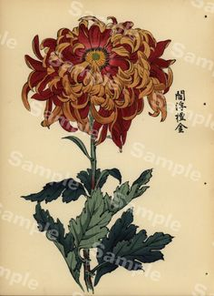 Orig Japanese Woodblock Print Book Chrysanthemum of Japan Meiji. Want as a tattoo. Japanese Painting, Chinese Painting, Chinese Art, Botanical Drawings, Botanical Prints, Japanese Chrysanthemum, Illustration Blume, Art Asiatique, Art Japonais