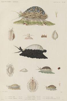 Voyage de la Corvette (atlas), Jules Dumont d'Urville, 1833.