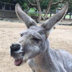 A bit of tongue action from my friend Skippy  #australia #australiagram #australia_oz #aussiephotos #ausfeels #exploreaustralia #goldcoast #goldcoast4u #goldcoastgallery #igersgoldcoast #ig_australia  #igs_oceania #ilovegoldcoast #loveyouqueensland #queensland #seeaustralia #socialifeaustralia #thisisqueensland #tourismaustralia #visitqueensland #visitgoldcoast #waycoolshots #wow_australia2016 #animalsofinstagram #australian #wildlife #currumbinsanctuary by bearybythebeach…
