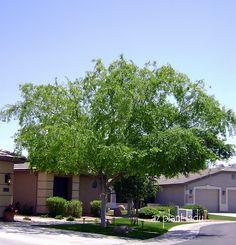 Evergreen Elm (Ulmus parvifolia)