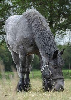 DSC_9553 2 Vlierden, Blue Roan mare by Ton van der Weerden, via Flickr
