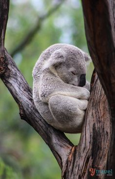 See Koalas at Australia's famous Dubbo Zoo in NSW