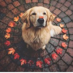"Get excellent tips on ""Golden Retriever dogs"". They are actually on call for you on our site. Get excellent tips on Golden Retriever dogs. They are actually on call for you on our site. Funny Animal Photos, Cute Funny Animals, Cute Baby Animals, Animals And Pets, Dog Pictures, Cute Dog Photos, Funny Cats, Funny Photos, Happy Pictures"