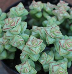Succulent Plant Crassual 'Tom Thumb' by SucculentOasis on Etsy, $4.75