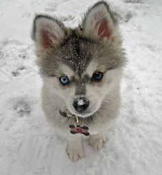 Alaskan Klee Kai. When I first seen these miniature huskies I instantly fell in love.