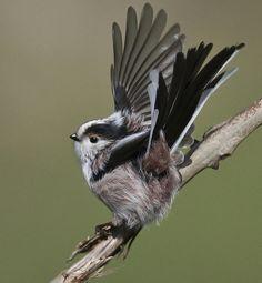˚Long-tailed tit - Aegithalos caudatus