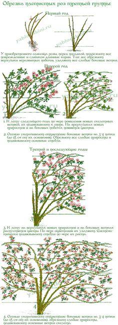 обрезка-плетистых-роз-тетьей-группы