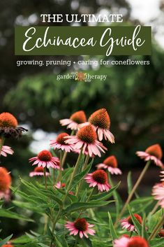 echinacea guide planting pruning and caring for coneflowers - Garden Therapy