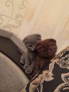 Scottish Fold kittens really need attention Click the Photo For More Adorable and Cute Cat Videos and Photos Pretty Cats, Beautiful Cats, Animals Beautiful, Cute Kittens, Ragdoll Kittens, Bengal Cats, Kittens Playing, Photo Chat, Brown Cat