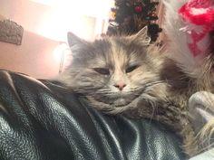 Aoki Cat | Pawshake Perth