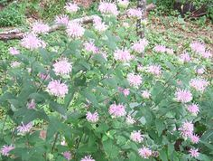 Perennial Wildflower Seed Pack  Natives Organically by brambleoak, $6.00