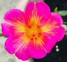 Blooming beautifully. #japaneserose #rose #roselovers #flowerslovers #balconygarden #gardenofflowers #garden #flowers #plants #pottedplants #gardener #gardening #enthusiast http://gelinshop.com/ipost/1524421231491131742/?code=BUn1QiHF6le