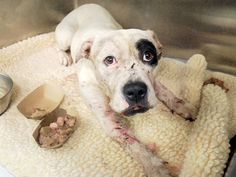 A1053795_Nena1 EMALE, WHITE / BLACK, PIT BULL MIX, 2 yrs STRAY – ONHOLDHERE, HOLD FOR DOH-NHB Reason STRAY Intake condition INJ MINOR Intake Date 10/05/2015, From NY 10469,  Behavior Evaluation GREEN  .MULTIPLE WOUNDS AT HEAD, LEGS, BODY. CLIPPED, CLEANED WITH DILUTED NOLVASAN. SEEN BY DR. 1009 ALLOWS HANDLING.   NYC AC&C Exterminated Dog