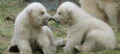 Polar Bear twins in Ouwehands zoo