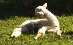 [VIDEO] Il baby alpaca che proprio non riesce a stare sveglio | All-4Animals