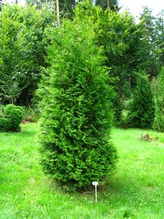 Image result for thuja occidentalis