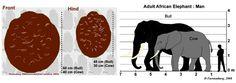 African Elephant (Loxodonta africana) | Wildliferanching.com African Elephant Facts, Asian Elephant, Elephant Information, Keystone Species, Emotional Awareness, Elephant Trunk, Vertebrates