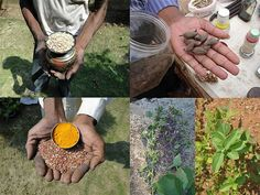Medicinal Rice Formulations for Diabetes Complications and Heart Diseases (TH Group-13 special) from Pankaj Oudhia's Medicinal Plant Database