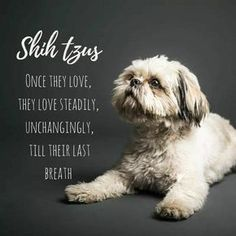 """Learn additional relevant information on """"shih tzu puppies"""". Take a look at our web site. Perro Shih Tzu, Shih Tzu Hund, Shih Tzu Puppy, Shih Poo, Shitzu Puppies, Cute Puppies, Cute Dogs, Dogs And Puppies, Doggies"""