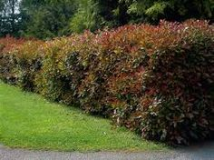 Pin On Plant Reference Guide For Ohio Good Plants For Hedges
