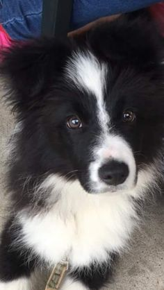 Foxy the border collie