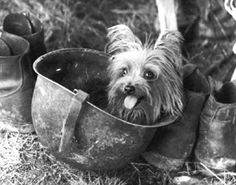 Smoky was Bill Wynne's incredible four-pound Yorkie dog hero of WW II. Read all about her amazing adventures in combat and in Hollywood at Yorkie Doodle Dandy http://www.smokywardog.com/