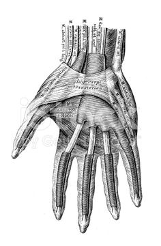 Human anatomy scientific illustrations: hand muscles royalty-free stock illustration